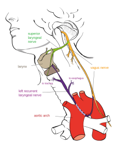 recurrent_laryngeal_nerve-svg