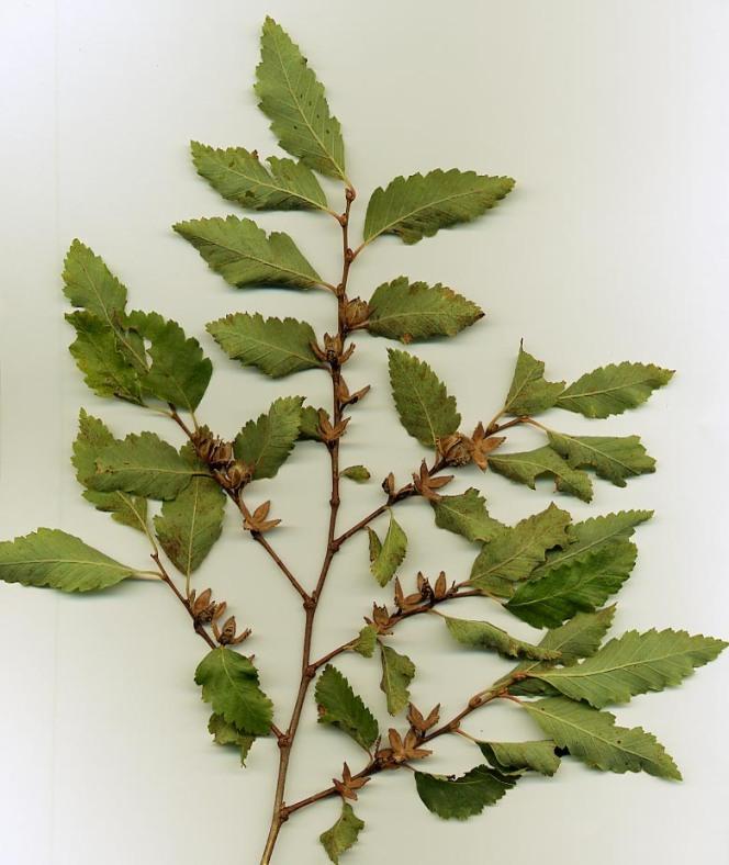 Nothofagus obliqua, southern beech tree