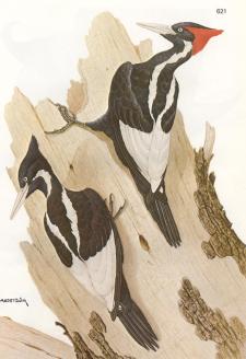 Ivorybill